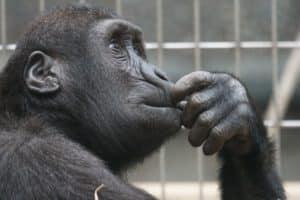 animal ape black 33535